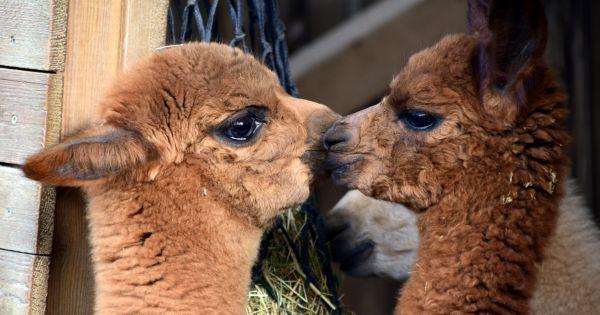 Zwei junge Alpakas